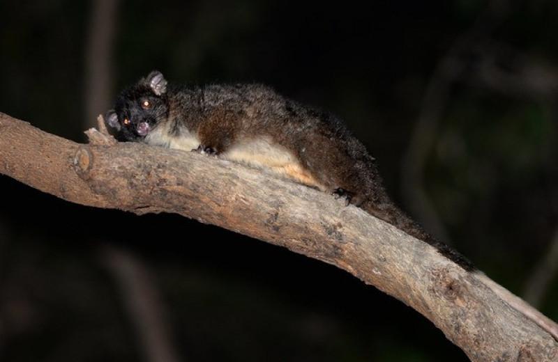 Вымирающие кускусы укрылись в садах австралийцев