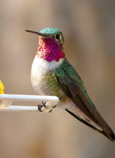 Колибри видит цвета, которые человек даже не может представить