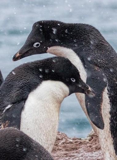 Отсутствие морского льда повысило успех размножения у пингвинов Адели в Восточной Антарктиде