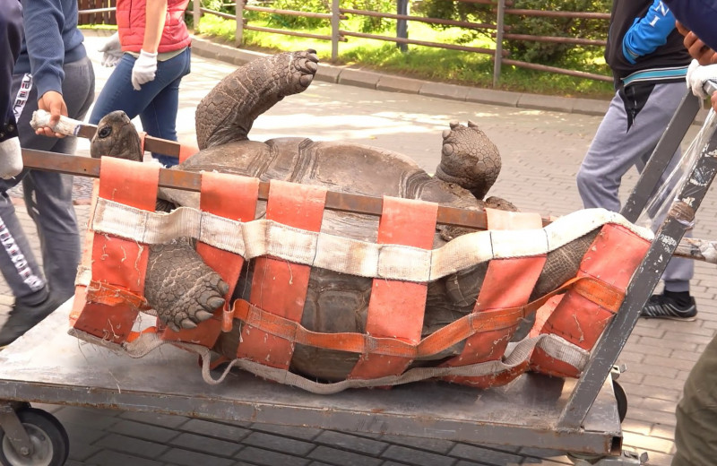Куда тащат на носилках огромных черепах?