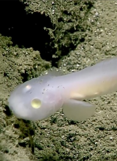 Как выглядит рыба-призрак со дна Марианской впадины: видео