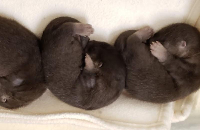 Новорожденные выдрята в американском зоопарке: фото и видео