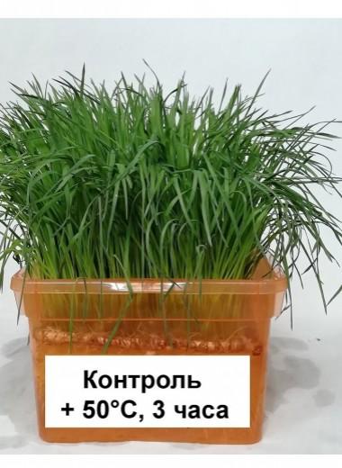 Пшеница умеет адаптироваться к тепловому стрессу