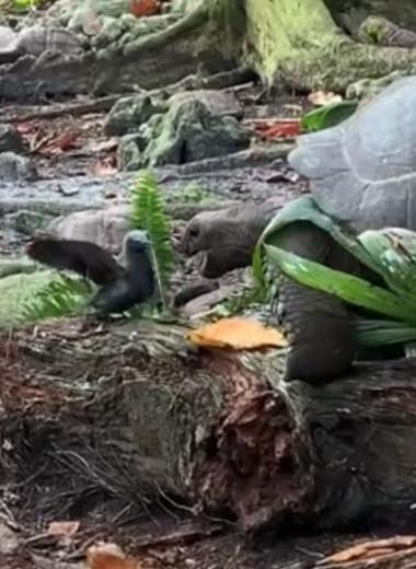 Хищная черепаха охотится на глупую крачку: шокирующее видео