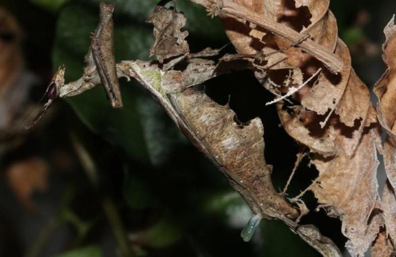 Самки амазонских богомолов привлекли самцов пахучими выростами на спине