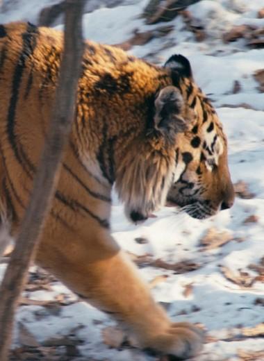 Спасти тигра. Как каждый может помочь амурским тиграм, которых в России осталось всего 540