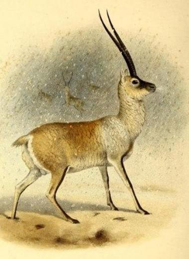Жизнь в горах заставила тибетских антилоп отказаться от «взрослого» гемоглобина