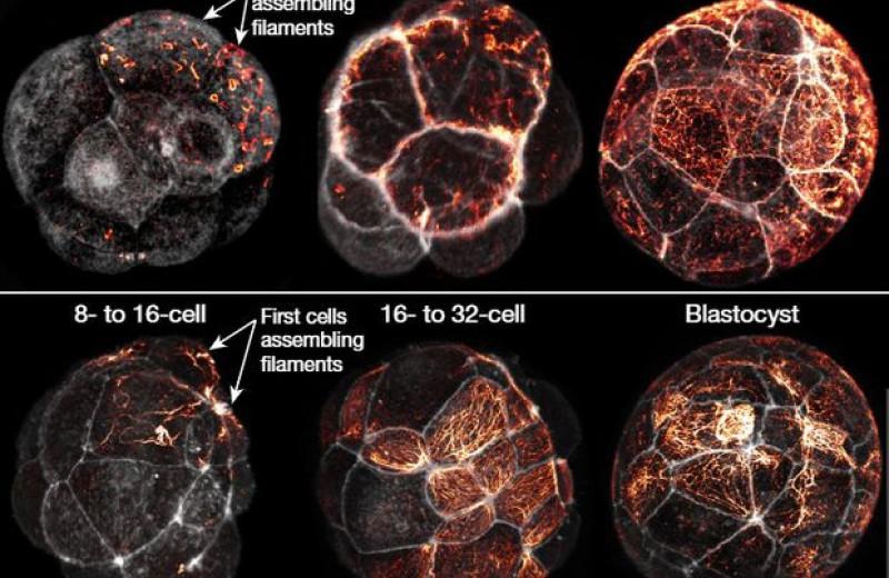 В зародышах млекопитающих нашли признаки омоложения сразу после оплодотворения