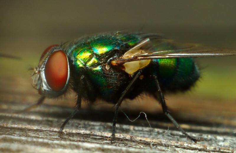 «Мушиная микрохирургия»: падальные мухи могут очищать раны от разлагающихся тканей