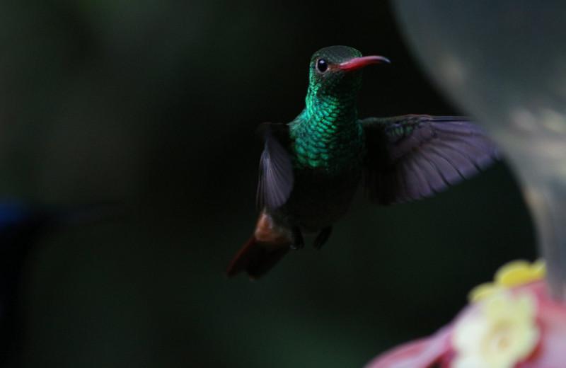 Как колибри удается пролетать сквозь водопады