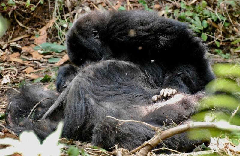 Как гориллы прощаются с усопшими
