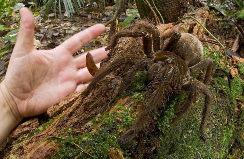 Терафоза блонда: паук весом с небольшого щенка