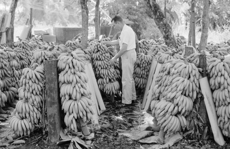 Для лояльных бонусы, несогласным — революция: как банановая компания United Fruit строила бизнес в Центральной Америке