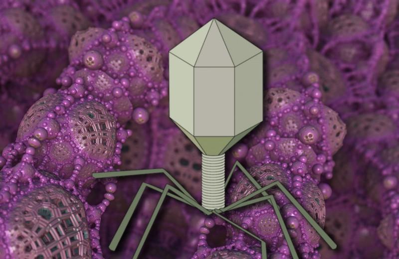 Как действует бактериофаг