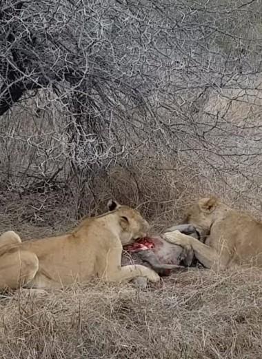 Гиены отбирают добычу у львиц: видео