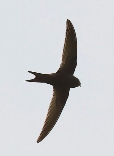 Птицы с тёмным оперением летают быстрее, чем с белым