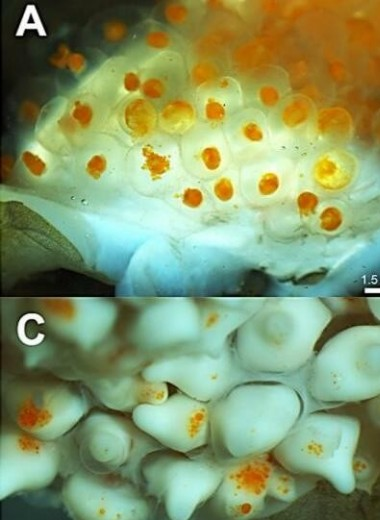 Беременные самцы морских коньков подкормили зародышей