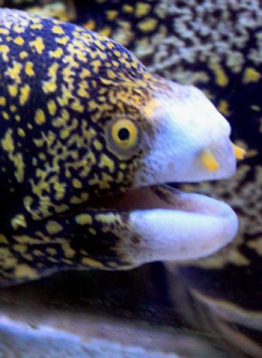 Мурена-ехидна: рыба, которая умеет питаться на суше