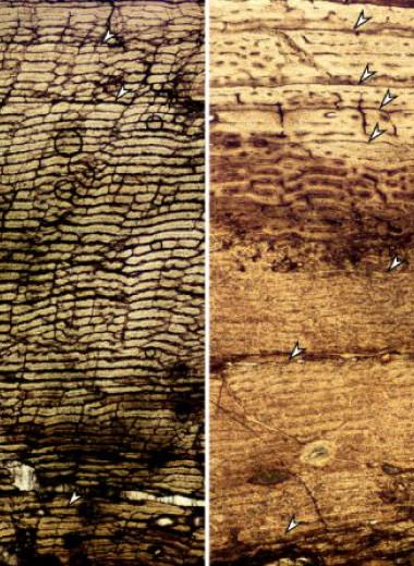 Рост юрского динозавра связали с условиями окружающей среды