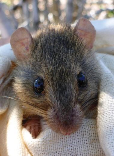 «Кто-то должен был стать первым»: вид крыс признали вымершим из-за потепления