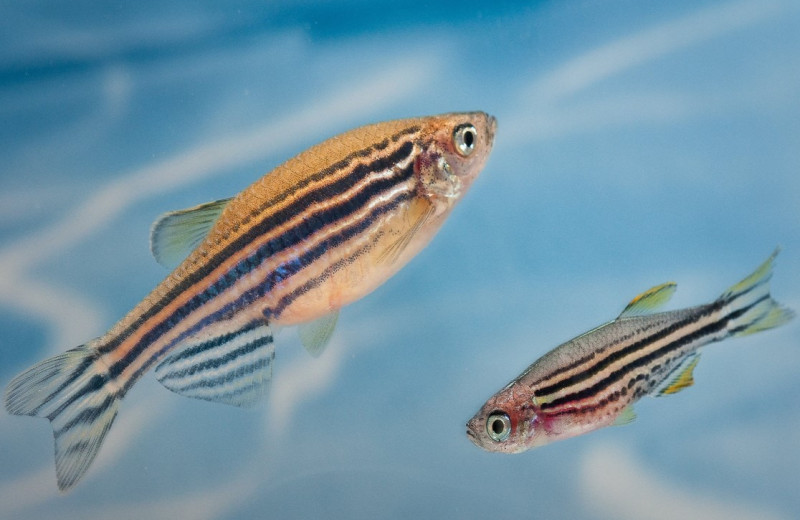 Регуляторные генетические элементы помогли рыбкам отрастить новые плавники