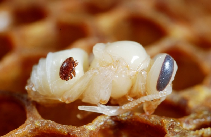 В чем причина разрушения пчелиных семей: новая версия