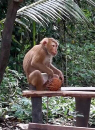 Тайский бренд обвинили в использовании труда обезьян для сбора кокосов — продажу товаров остановили 28 тысяч магазинов
