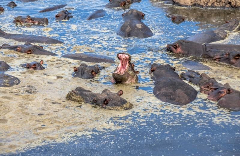 53 000 тонн навоза: экскременты бегемотов убивают рыб