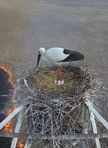 Героический папа-аист заботится о потомстве во время пожара: видео