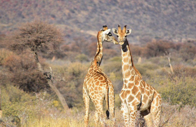 Первое правило бойцовского клуба жирафов: размер имеет значение