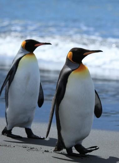Толстые пингвины на беговой дорожке: видео