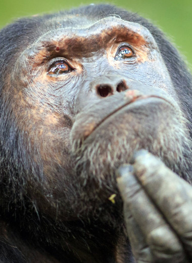 Планета обезьян: как шимпанзе превратить в человека