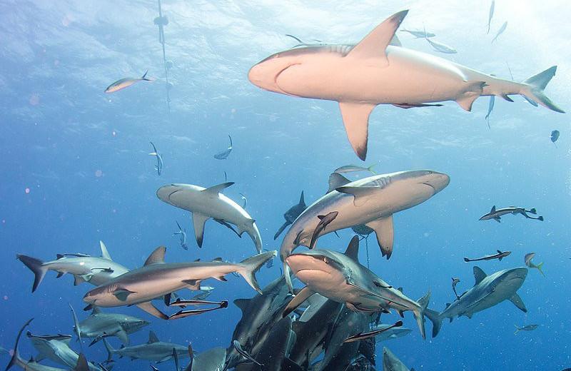 Популяции акул и скатов за полвека сократились на 71%