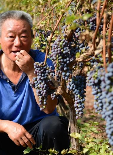 Истина на Востоке. Почему Китай может стать новым мировым центром виноделия