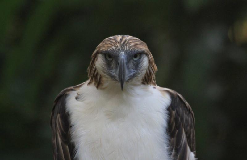 Филиппинский орел-обезьяноед: это что за птица?