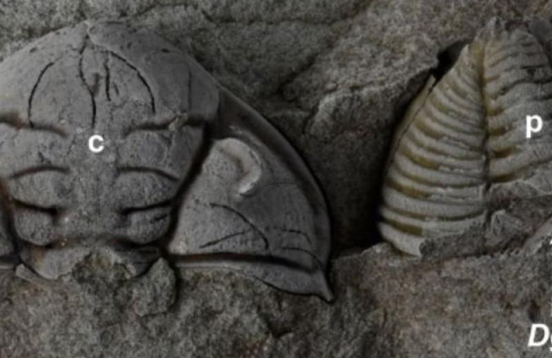 В Чехии нашли окаменелость искалеченного трилобита, чудом выжившего после нападения ракоскорпиона
