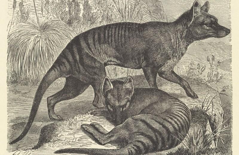 В архивах обнаружили редкую видеосъемку вымершего тасманийского волка — тилацина