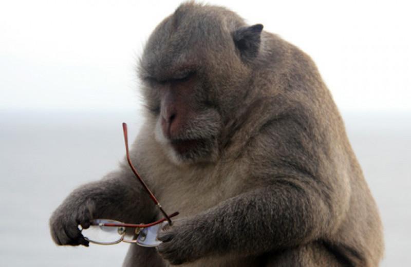 Балийские макаки-крабоеды наладили бартер с людьми