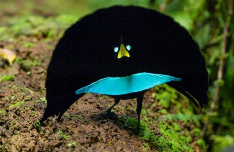 Открыт новый вид чудных райских птиц: видео