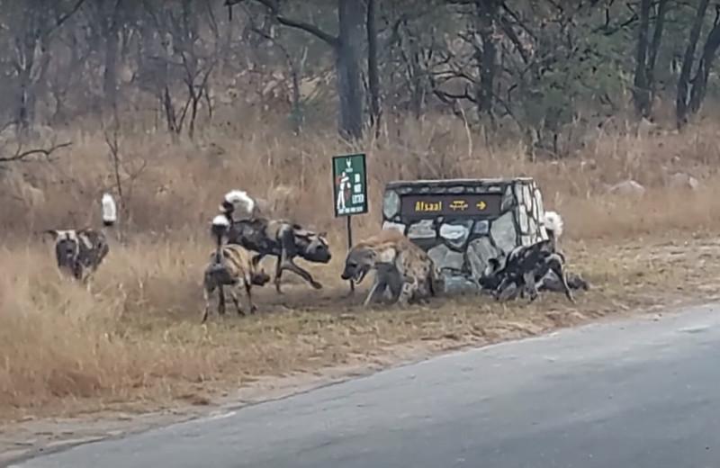 Загнанная в угол гиена зовет на помощь: видео