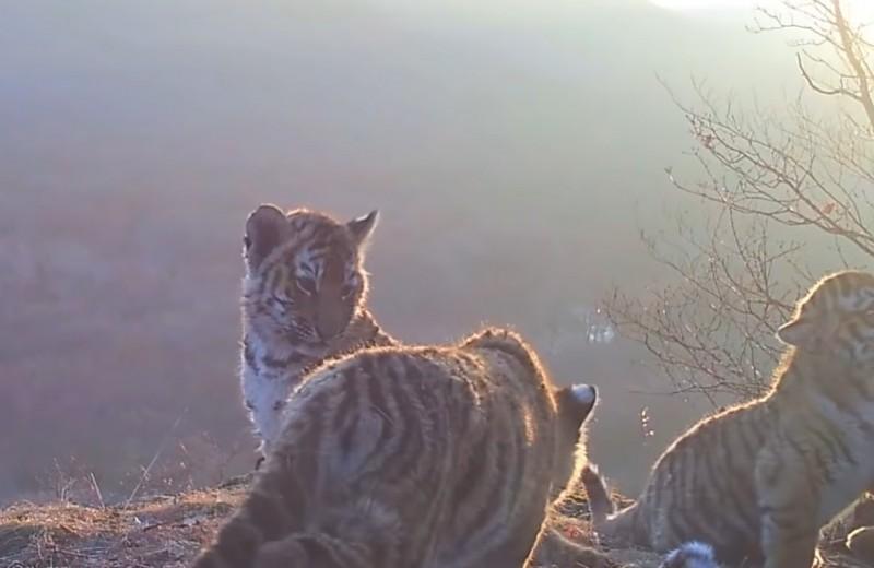 Полосатый детсад: четыре тигренка из «Земли леопарда» впервые попали на видео