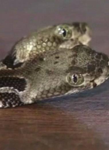 Гремучая змея с двумя головами найдена в США