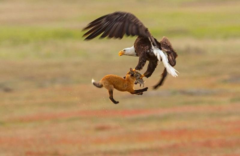 Белоголовый орлан отбирает у лисы добычу: фото