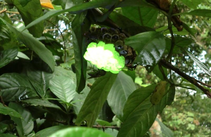 Осы Северного Вьетнама создают светящиеся гнезда