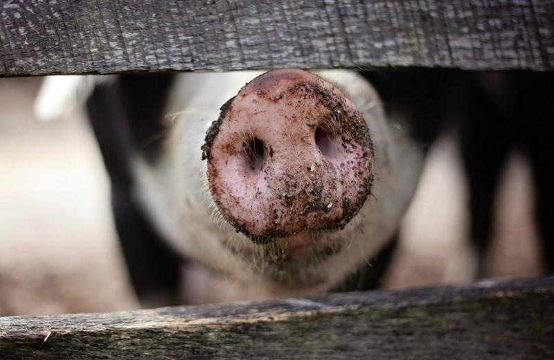 Как пандемия «свиной чумы» распространяется по планете: апокалипсис свиней