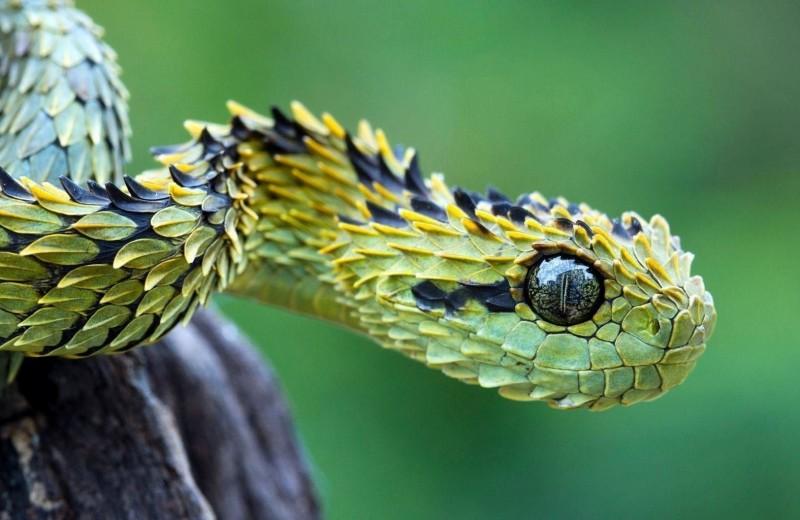 Найден возможный антидот к нескольким змеиным ядам сразу