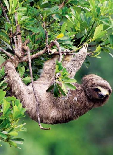 Ленивец: древесный тихоход