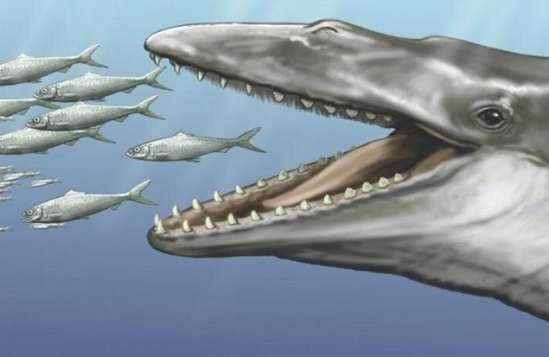 Древние киты имели и зубы, и китовый ус