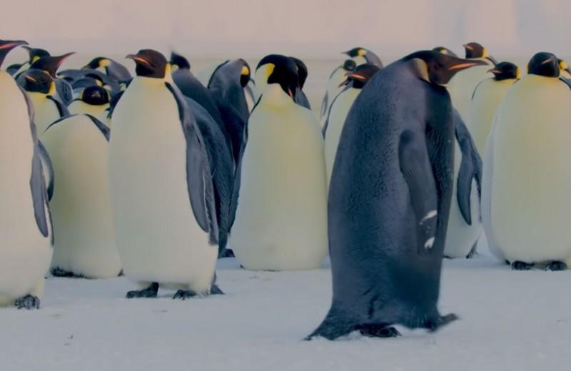 «Против системы»: императорский пингвин черного окраса попал на видео