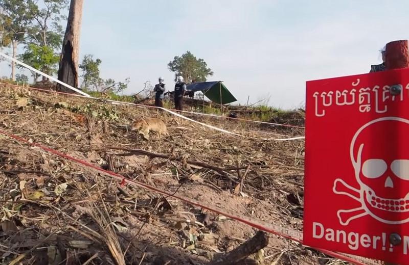 Крысу-сапёра наградили золотой медалью за обнаружение десятков мин в Камбодже: видео